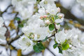 New spring season apple tree branch in full bloom with pink and white flowers Royalty Free Stock Photo