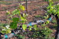 New Vineyard Growth Royalty Free Stock Photo