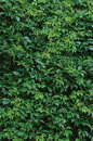 New Virginia Creeper Leaves, V...