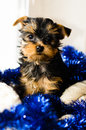 New Year , Christmas gist. Yorkshire Terrier puppy sitting, 2 months old Royalty Free Stock Photo