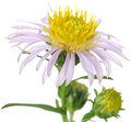 New York Aster Flower Close-up Stock Image