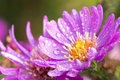 New York aster or Michaelmas daisy Royalty Free Stock Photo