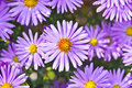 New York asters Royalty Free Stock Photography