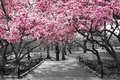 New York City - Pink Blossoms in Black and White