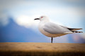 New zealand black billed seagull a with red rimmed eye stands still with s southern alps in the background found only in Stock Photos