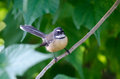 New zealand fantail sit on a tree branch Stock Photography