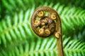 New Zealand fern koru Royalty Free Stock Photo