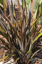 New Zealand Flax Royalty Free Stock Photo