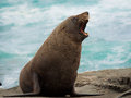 New Zealand fur seal Royalty Free Stock Photography