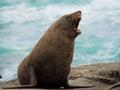 New Zealand fur seal Royalty Free Stock Photo