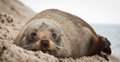 New Zealand fur seal Royalty Free Stock Photo