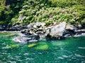 New Zealand Fur Seal Basking In The Sun On Seal Rock.