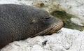 New zealand fur seal near kaikoura new zealand close up of a Stock Photos