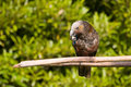 New Zealand Kaka Parrot Stock Image