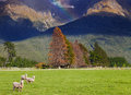New zealand landscape south island mountain with forest and grazing sheep Royalty Free Stock Images