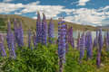 New Zealand Lupins Royalty Free Stock Photo