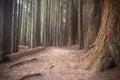 New Zealand Redwoods Royalty Free Stock Photo