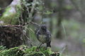 New zealand robin a south island seen on routeburn track Stock Image
