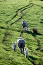 Mother sheep care for young newborn Royalty Free Stock Photo