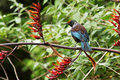 New zealand tui nz native bird perched on a flax bush Royalty Free Stock Photography