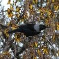 New zealand tui one of native birds Stock Images