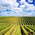 New Zealand vineyard Royalty Free Stock Photo