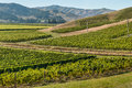 New Zealand vineyards in summertime Royalty Free Stock Photo