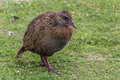 New zealand weka the photographed on the west coast of the south island Stock Images