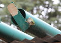 New zealands smallest bird the rifleman building a nest in this pipe Stock Images