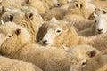 New Zealnad Lambs Royalty Free Stock Photo