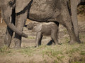 Newborn African bush elephant calf Royalty Free Stock Photo