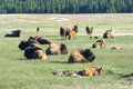 Newborn bison in yellowstone mothers and babies Royalty Free Stock Photography