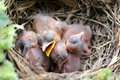 Newborn blackbirds a nestful of Stock Images