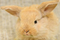 Newborn brown rabbit little with long ears close up portrait Royalty Free Stock Images