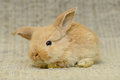 Newborn brown rabbit little with long ears close up portrait Stock Photos