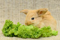 Newborn brown rabbit little with long ears eating lettuce close up portrait Stock Photo