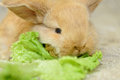 Newborn brown rabbit little with long ears eating lettuce close up portrait Stock Images
