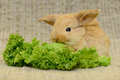 Newborn brown rabbit little with long ears eating lettuce close up portrait Royalty Free Stock Image