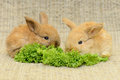 Newborn brown rabbit rwo little with long ears eating lettuce close up portrait Stock Photography