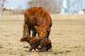 Newborn Calf with Mother Royalty Free Stock Photo
