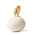 Newborn chick on ostrich egg three little pedigreed yellow brown with shaggy paws stands big over white background Royalty Free Stock Photo