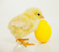 Newborn chicken with yellow egg Stock Photography