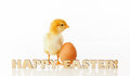 Newborn chicken with yellow egg Stock Image