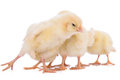 Newborn chickens isolated many on white background Stock Photos