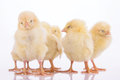 Newborn chickens isolated many on white background Royalty Free Stock Image