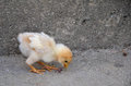 Newborn chickling feeding chicken yard Stock Photo
