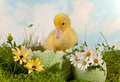 Newborn duckling in the garden easter a daisy Royalty Free Stock Image
