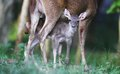 Newborn fawn and doe new born in solo central java indonesia Royalty Free Stock Photo