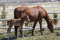 Newborn foal never leaves side mare corral Stock Photos
