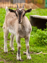 Newborn goatling Stock Photo
